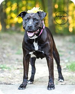 Pit Bull Terrier/Labrador Retriever Mix Dog for adoption in Cincinnati, Ohio - Cricket