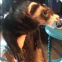 Adopt A Pet :: Little Bear - Hartford, CT