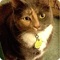 Domestic Shorthair Cat for adoption in Asheville, North Carolina - Trisha (courtesy post)