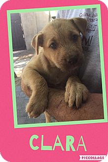 Shepherd (Unknown Type)/Pit Bull Terrier Mix Puppy for adoption in Scottsdale, Arizona - Clara