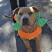American Pit Bull Terrier Mix Dog for adoption in Paris, Kentucky - Rome