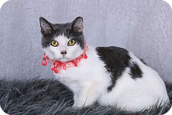 Domestic Shorthair Cat for adoption in Huntington, West Virginia - Annie