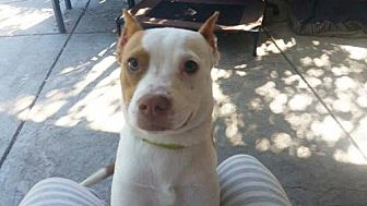 American Pit Bull Terrier Mix Dog for adoption in Los Banos, California - Mouse