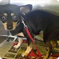Adopt A Pet :: Fifi - Encino, CA