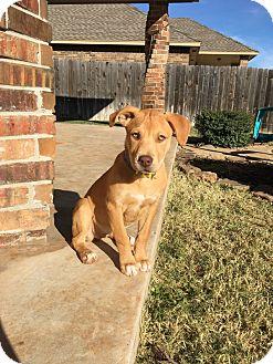 Mastiff Mix Puppy for adoption in oklahoma city, Oklahoma - Willow