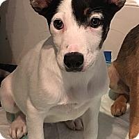 Adopt A Pet :: Hazel (DENVER) - Fort Collins, CO