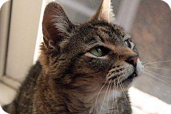 Domestic Shorthair Cat for adoption in Fenton, Missouri - Ozzie Ozborne
