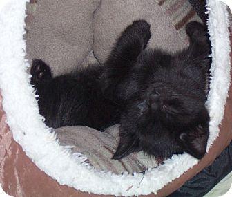 Domestic Shorthair Kitten for adoption in Gray, Tennessee - Lestat