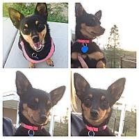 Adopt A Pet :: Drita - Lake Elsinore, CA