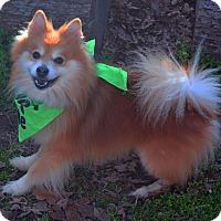 Adopt A Pet :: CJ - Burleson, TX