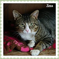 Adopt A Pet :: Zeus - Island Heights, NJ
