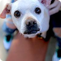 Adopt A Pet :: Saul - Los Angeles, CA