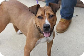 Pit Bull Terrier Mix Dog for adoption in Greensboro, North Carolina - Mason