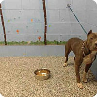 Pit Bull Terrier Mix Dog for adoption in San Bernardino, California - URGENT on 10/11 SAN BERNARDINO