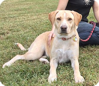 Labrador Retriever Mix Dog for adoption in Virginia Beach, Virginia - Saks
