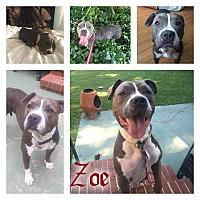 Adopt A Pet :: Zoe - Eden, NC
