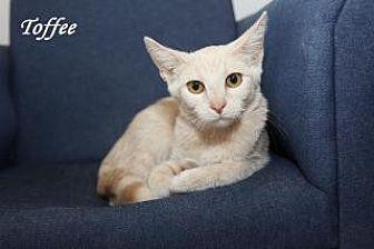 Domestic Shorthair Cat for adoption in Manhattan, Kansas - Laguna