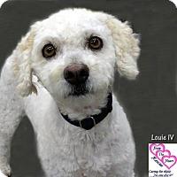 Adopt A Pet :: Louie IV - Canutillo, TX