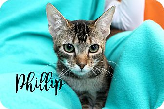 Abyssinian Kitten for adoption in Wichita Falls, Texas - Phillip