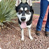 Adopt A Pet :: Thunder - Las Vegas, NV