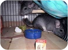 Chinchilla for adoption in Avondale, Louisiana - Buffy & Bella
