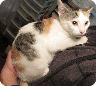 Calico Kitten for adoption in Acme, Pennsylvania - Tinsel