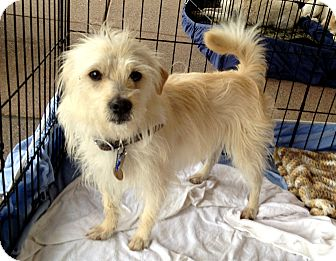 Maltese/Terrier (Unknown Type, Small) Mix Dog for adoption in Phoenix, Arizona - Kenny