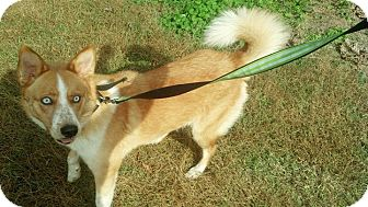 Penelope STUNNING/HOUSETRANED | Adopted Dog | Salamanca ...  |Blue Heeler Shepherd Husky Mix