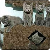 Adopt A Pet :: KITTENS! - Chicago, IL