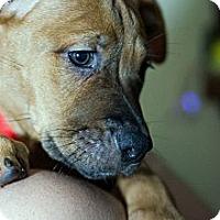 Adopt A Pet :: Cici - Shavertown, PA