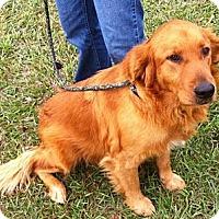 Adopt A Pet :: Dane - Cheshire, CT