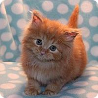 Adopt A Pet :: Butterscotch - Union, KY