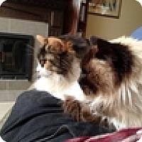 Adopt A Pet :: Patchou - Vancouver, BC