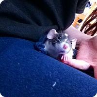 Adopt A Pet :: JOEY VINNIE VAN GOGH - Philadelphia, PA