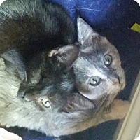 Adopt A Pet :: Francis (one eye) - Fairfax, VA