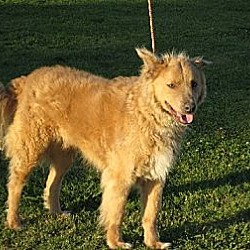 Photo 1 - Golden Retriever/Collie Mix Dog for adoption in Greenville, Rhode Island - Jake