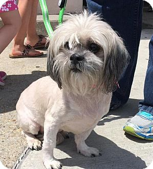 Shih Tzu Dog for adoption in Abbeville, Louisiana - Sassy