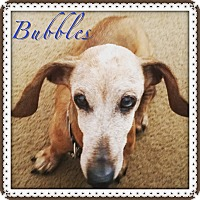 Adopt A Pet :: Bubbles - Green Cove Springs, FL