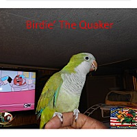 Adopt A Pet :: Birdie the Quaker - Vancouver, WA