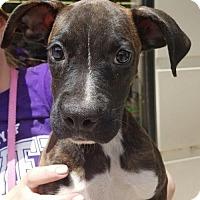 Adopt A Pet :: Trinity - Aurora, CO