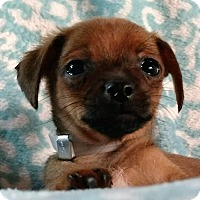 Adopt A Pet :: Thor - Oakley, CA