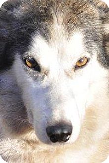 Siberian Husky Mix Dog for adoption in Shingleton, Michigan - Ruby & Sapphire