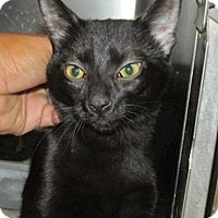 Adopt A Pet :: Cat N009 - Rocky Mount, NC