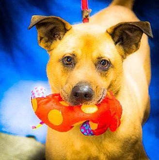 German Shepherd Dog/Affenpinscher Mix Dog for adoption in Freeport, New York - Ozzy