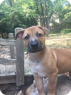 Belgian Malinois/Siberian Husky Mix Puppy for adoption in Atlanta, Georgia - Patches