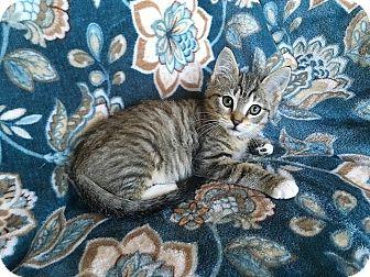 Domestic Shorthair Kitten for adoption in Tampa, Florida - Hercules