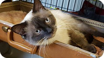 Siamese Cat for adoption in Overland Park, Kansas - Brynner