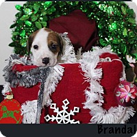 Adopt A Pet :: Brandalynn - Tampa, FL