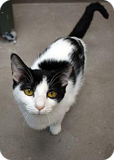 Domestic Shorthair Cat for adoption in Virginia Beach, Virginia - Tibbs