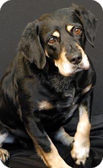 Cocker Spaniel/Beagle Mix Dog for adoption in Newland, North Carolina - Payton